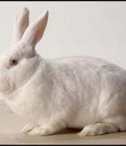 опис кролика
