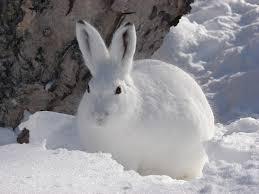 опис зайця