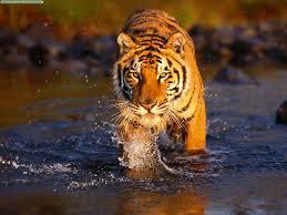 цікаві факти про тигра