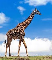 цікаві факти про жирафа