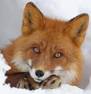 загадки про лисицю