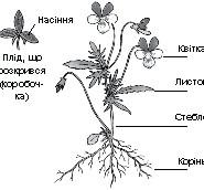 генеративні органи рослин