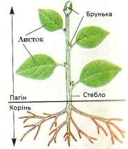 вегетативні органи
