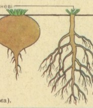 кореневі системи
