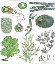 структура тіла водоростей