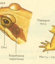 будова жаб