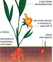 лілійні рослини