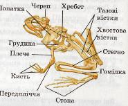 скелет земноводних