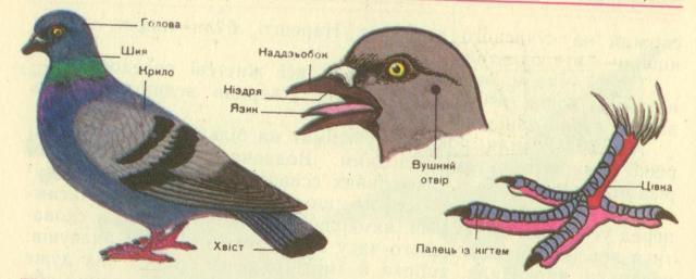 Результат пошуку зображень за запитом зовнішня будова птахів