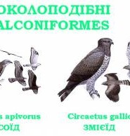 соколоподібні