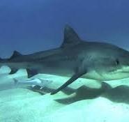 акули цікаві факти