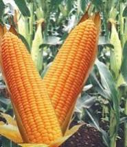 кукурудза цікаві факти