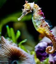 морський коник цікаві факти