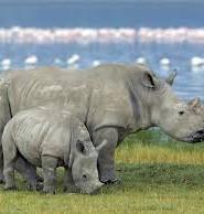 носоріг цікаві факти
