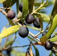оливки цікаві факти