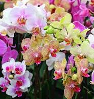орхідеї цікаві факти