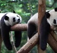 панда цікаві факти
