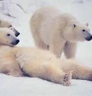 полярний ведмідь цікаві факти