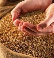 пшениця цікаві факти