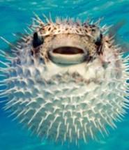 риба фугу цікаві факти