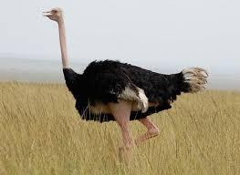 страус цікаві факти