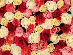 троянди цікаві факти