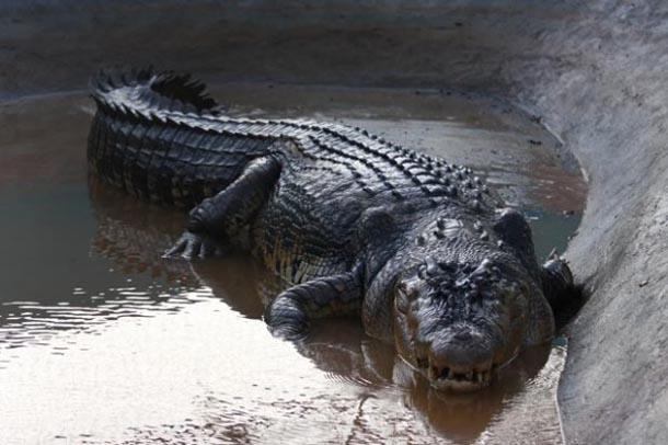 цікаві факти про крокодила