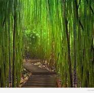 бамбук цікаві факти