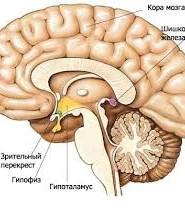 гіпоталамус функції