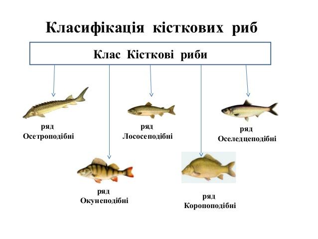 кісткові риби представники
