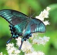 метелики цікаві факти