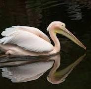 рожевий пелікан цікаві факти