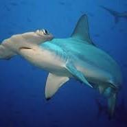 акула молот цікаве