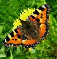 Розповідь про метелика кропивницю